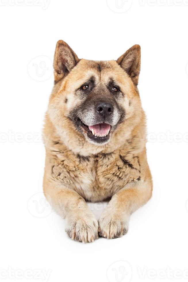 stor akita ras hundläggning foto