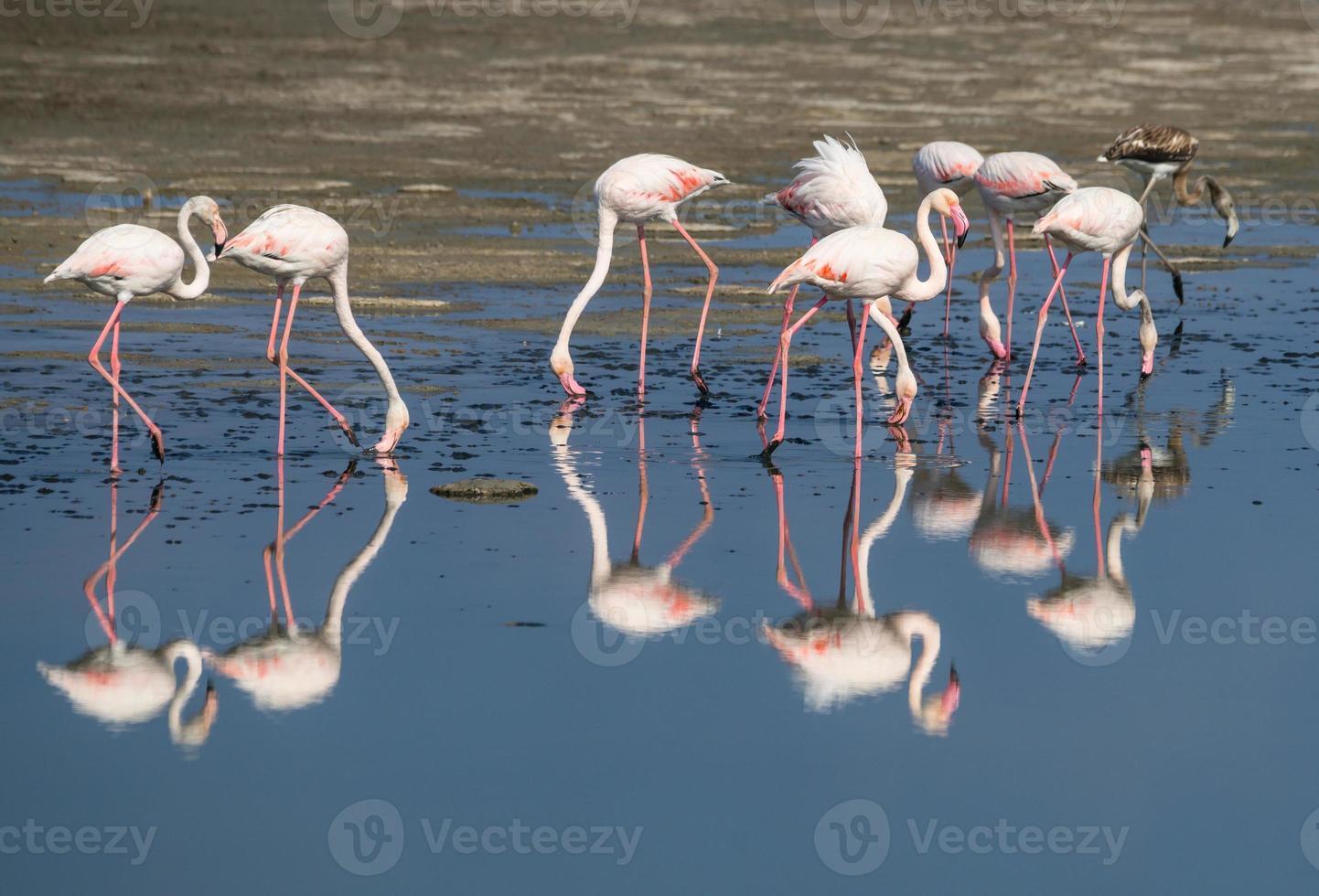 större flamingos foto