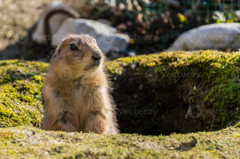 erdhörnchen sieht aus seinem bau heraus foto