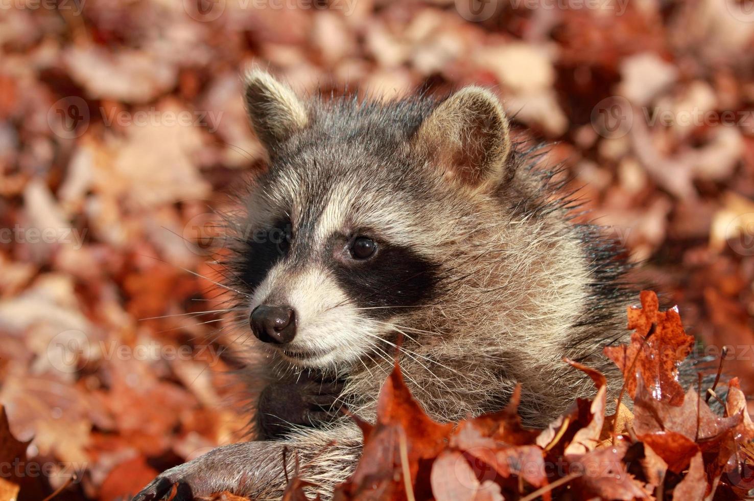 tvättbjörn under hösten foto