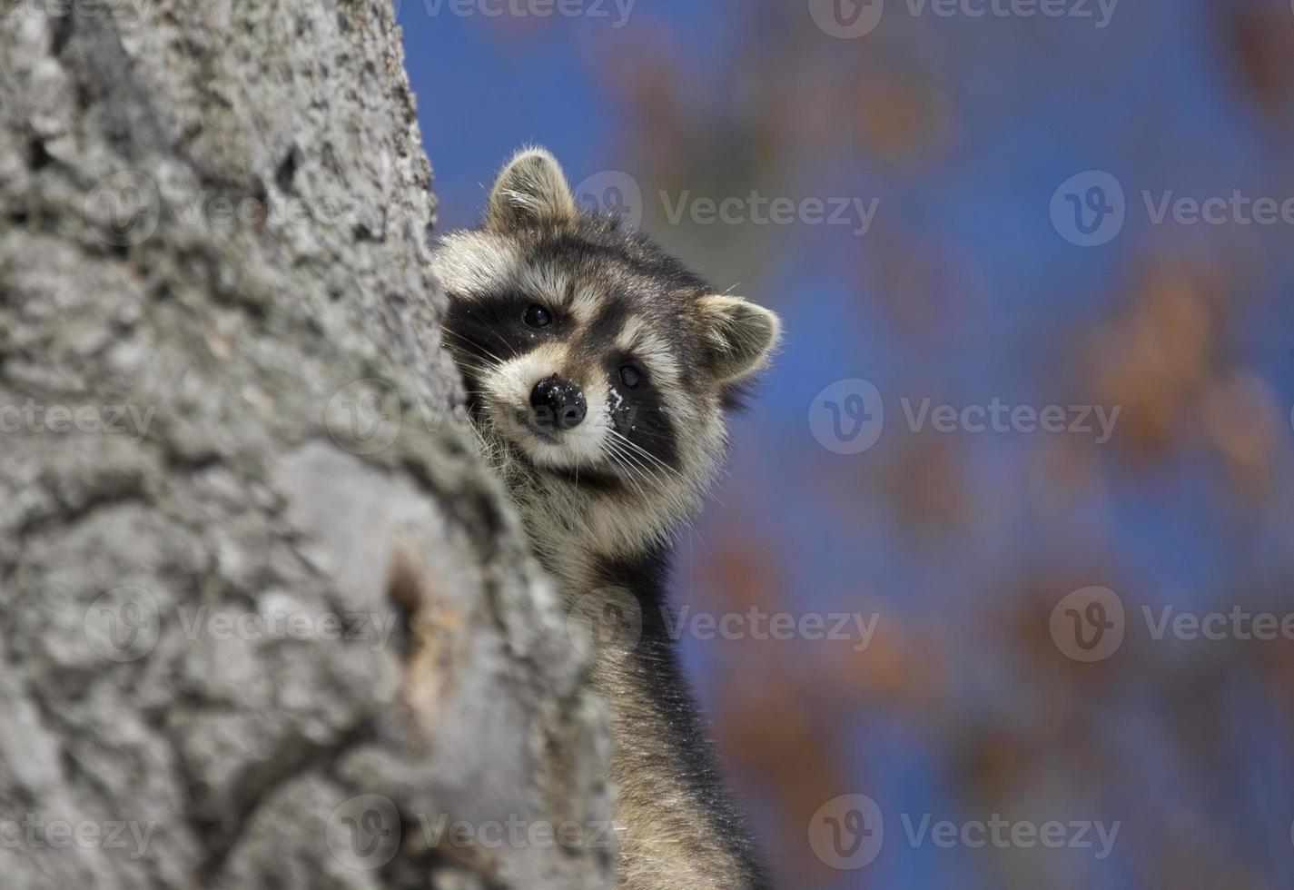 racoon på vintern foto