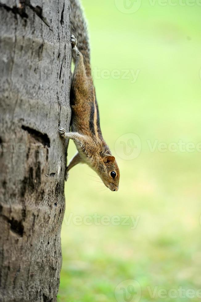 vild chipmunk foto