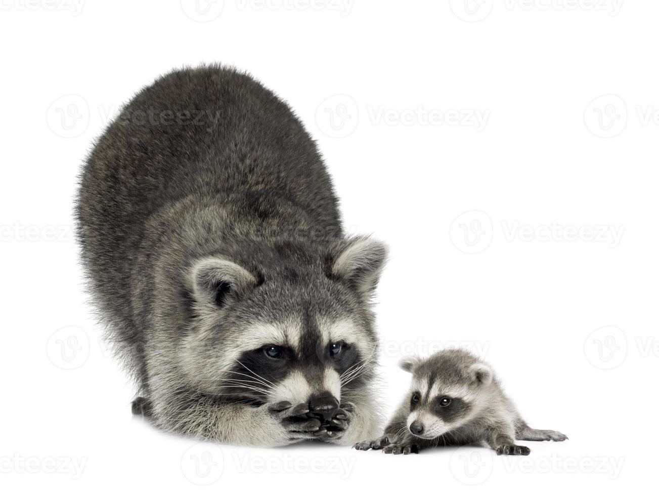 tvättbjörn och hennes baby - procyon lotor foto