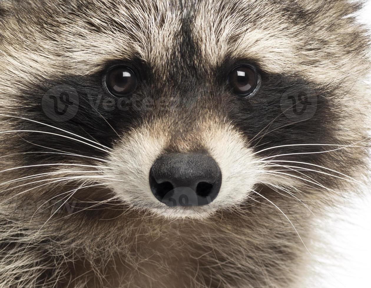 närbild av en racoon, procyon iotor, isolerad på vitt foto