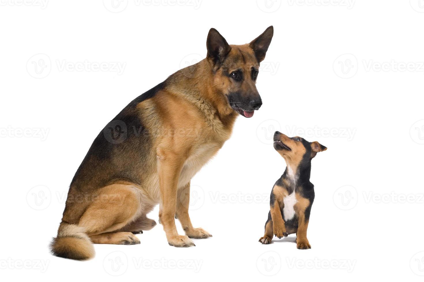 tysk shepard och en jack russel terrier foto
