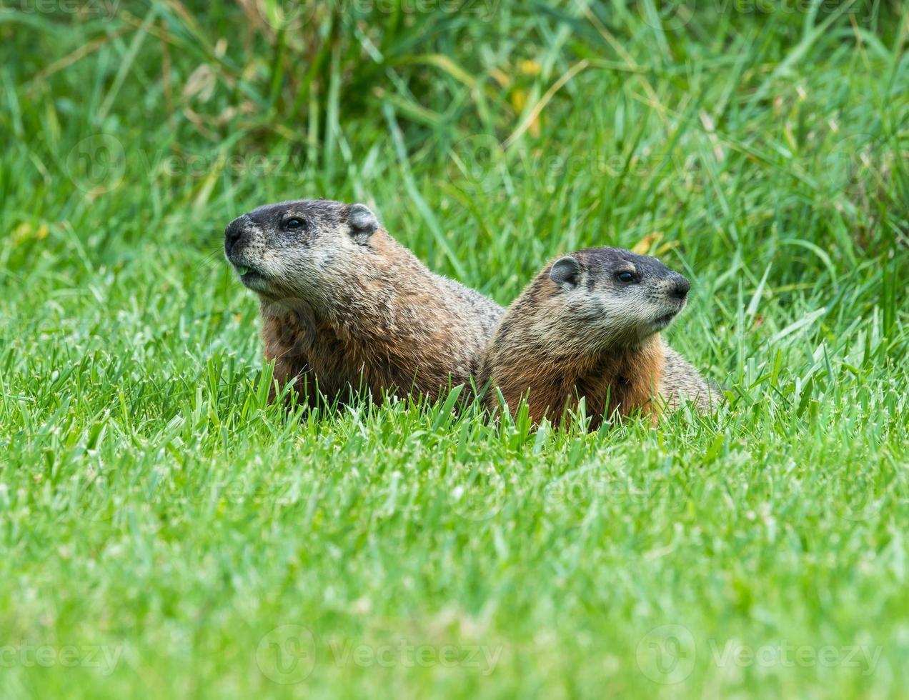 två Groundhogs porträtt foto