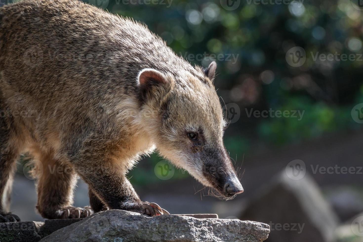 sydamerikanska coati foto