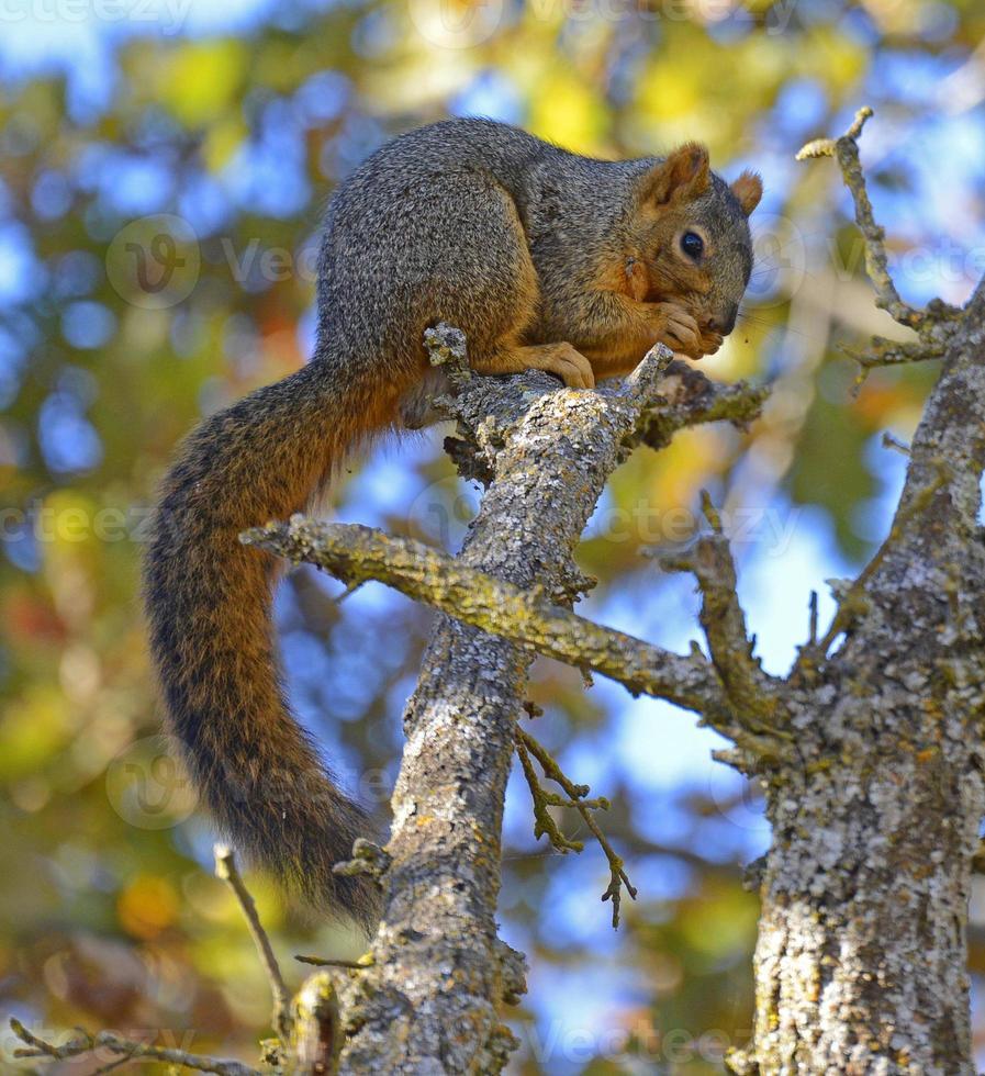 ekorre som sitter i ett träd som äter foto