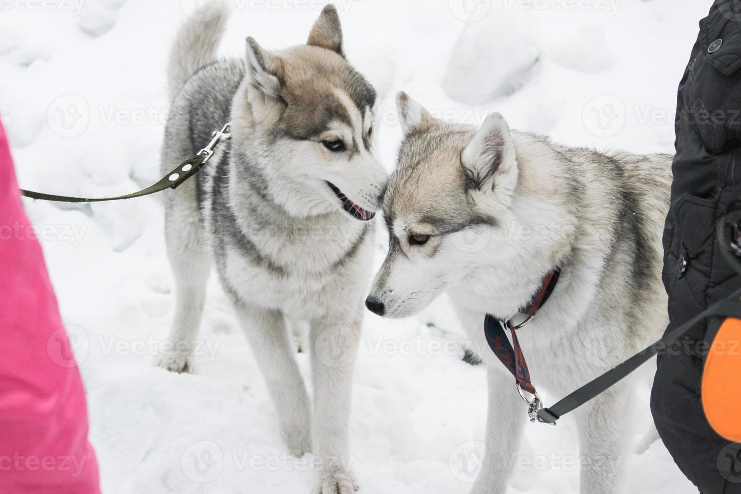 två huskies som spelar foto