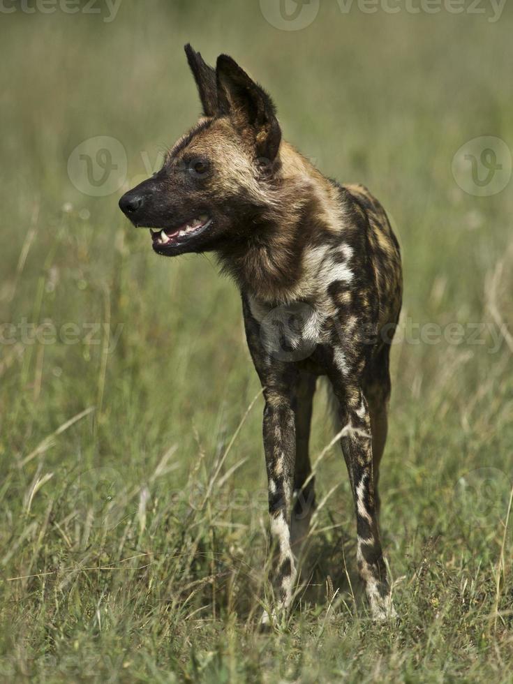 afrikansk vild hund foto