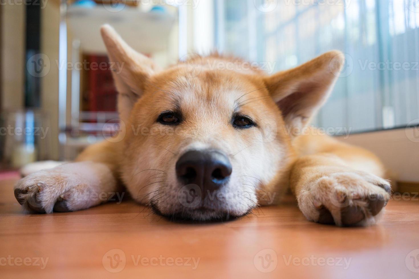 shiba-inu håller på att sova foto