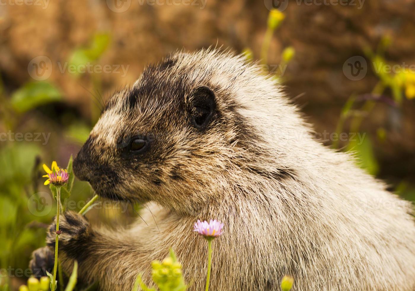 gulbockad marmot foto