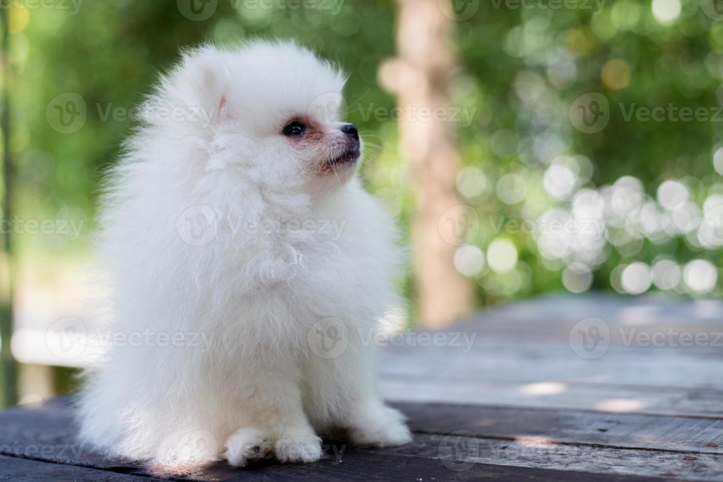 liten vit pomeranian hund foto