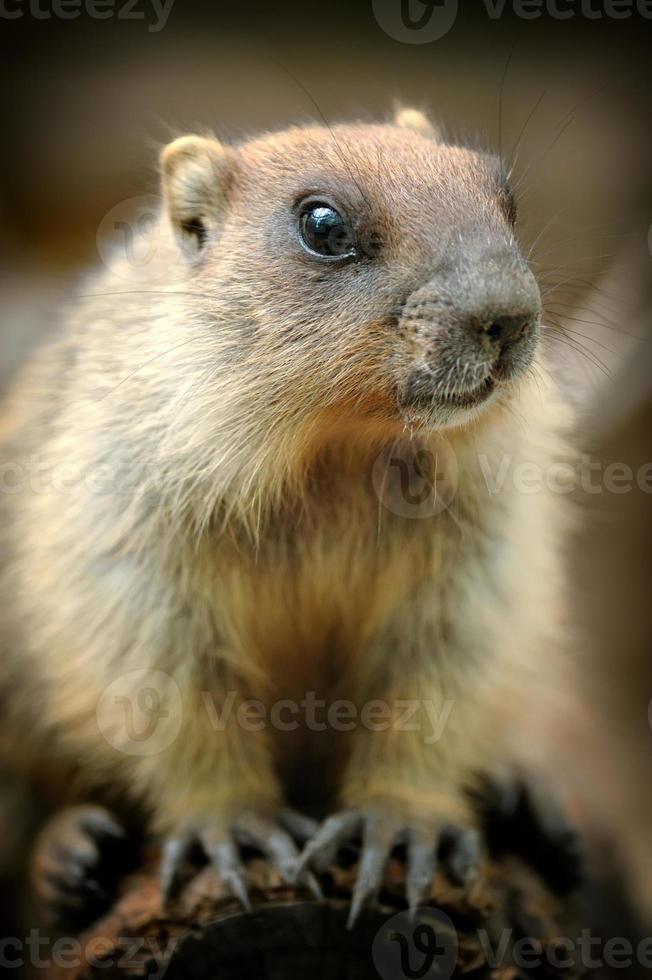 murmeldjur foto