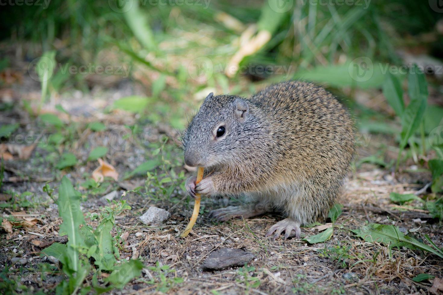 Groundhog äter spaghetti foto