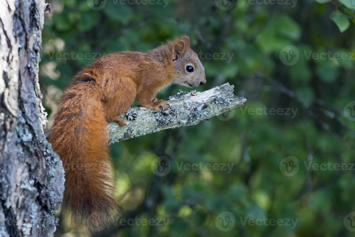 eichhörnchen, sciurus vulgaris, röd ekorre foto
