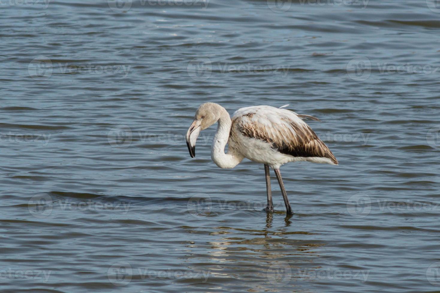 ung större flamingo, phoenicopterus roseus foto