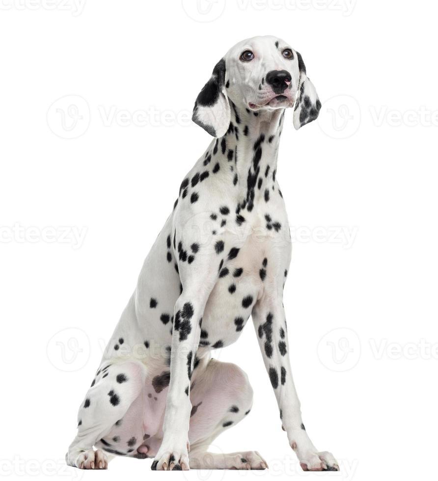dalmatiansk sittande, isolerad på vitt foto