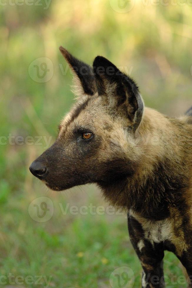 vild hund foto