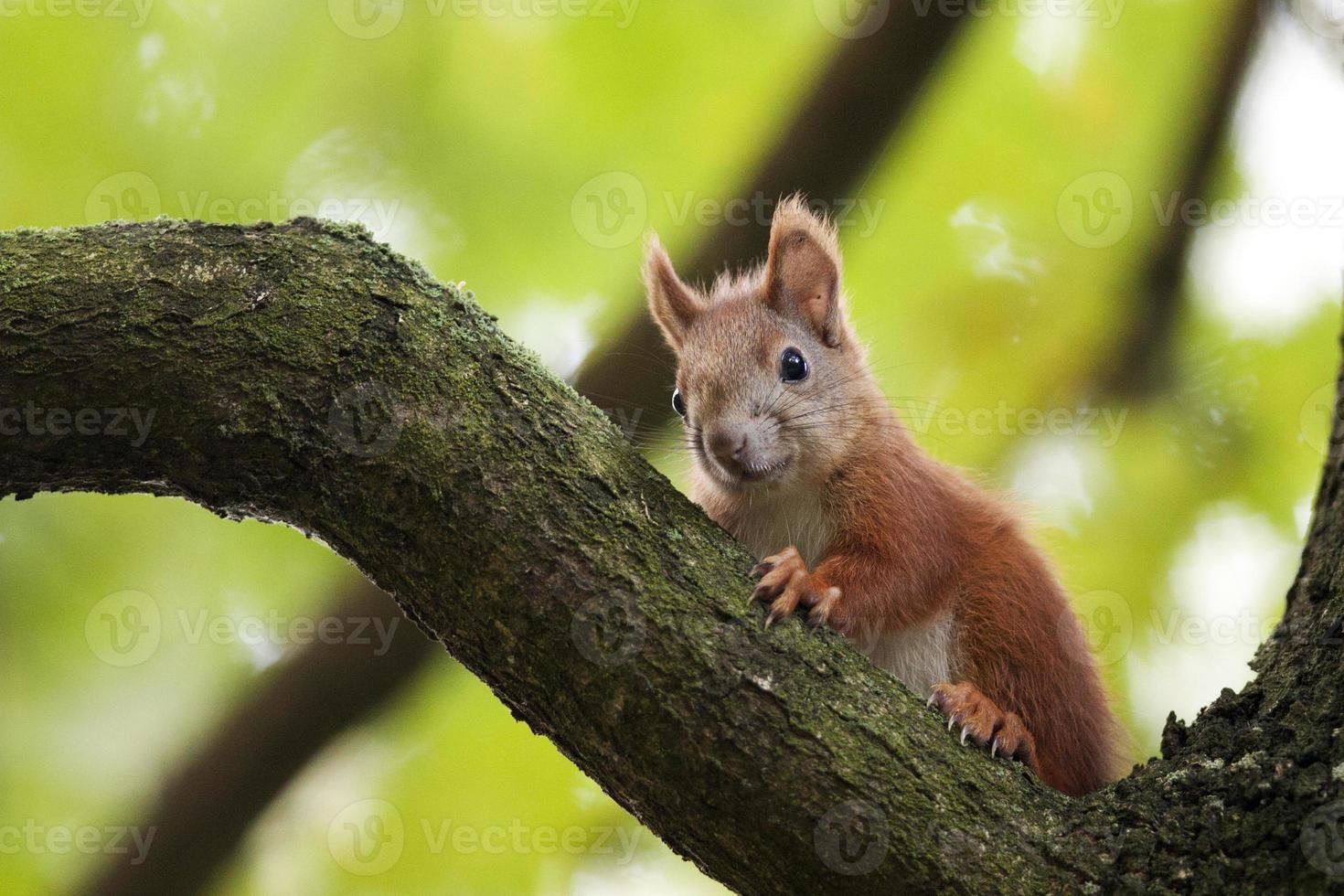 den röda ekorren i en skog. foto