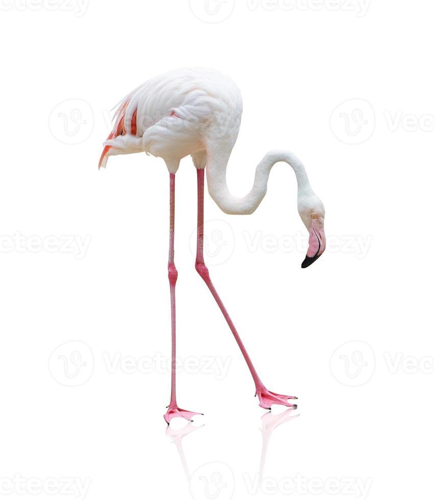 porträtt av en flamingo foto