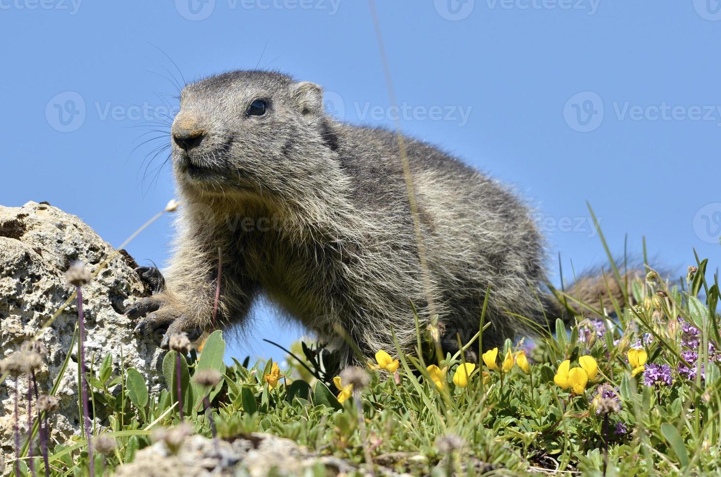 ung alpin marmot foto