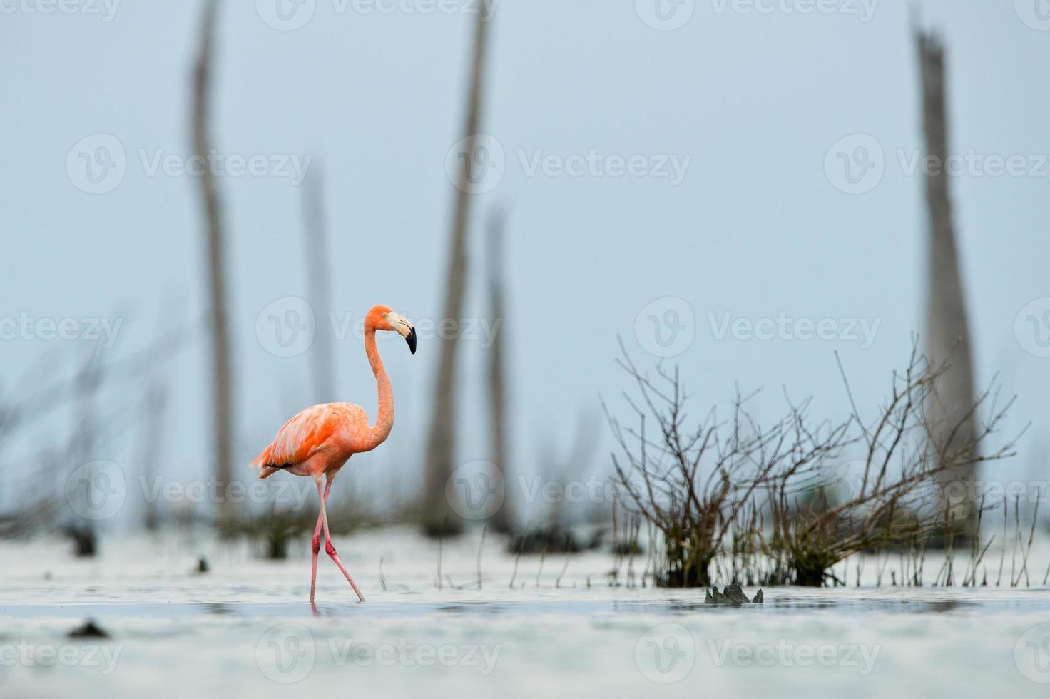 den rosa karibiska flamingo går på vatten. foto