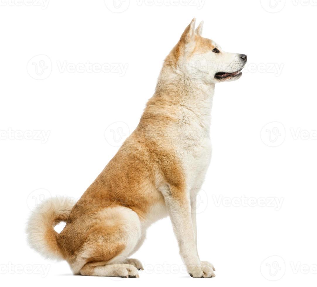 sidovy av akita inu sitter, isolerad på vitt foto