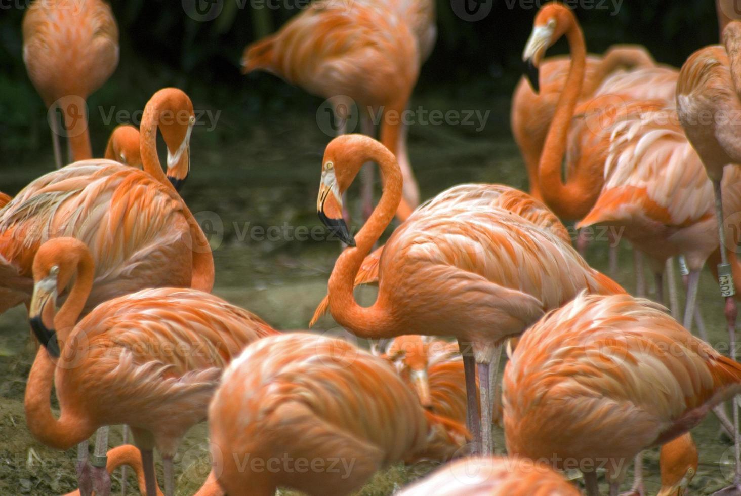 flamingos, singapore foto