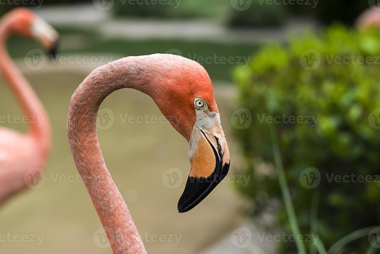 flamingo fåglar foto