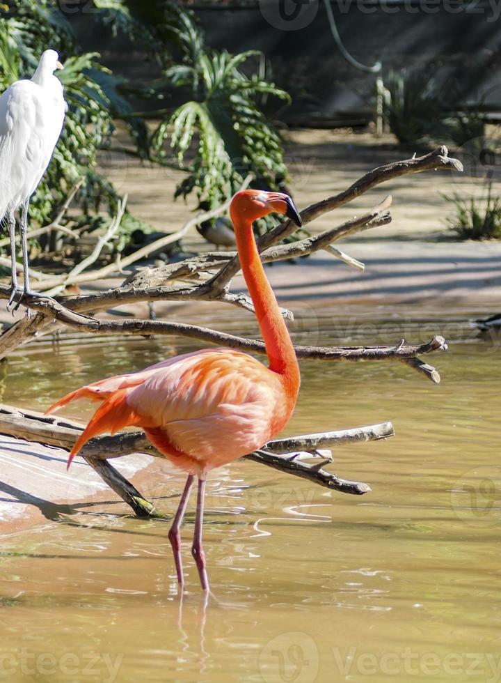karibisk flamingo foto