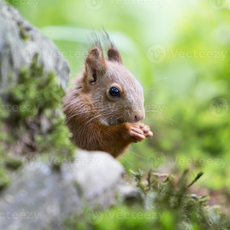 ekorre (sciurus vulgaris) - Nederländerna foto