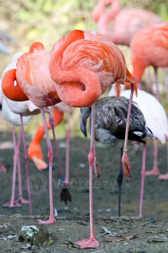 flamingo sovande foto
