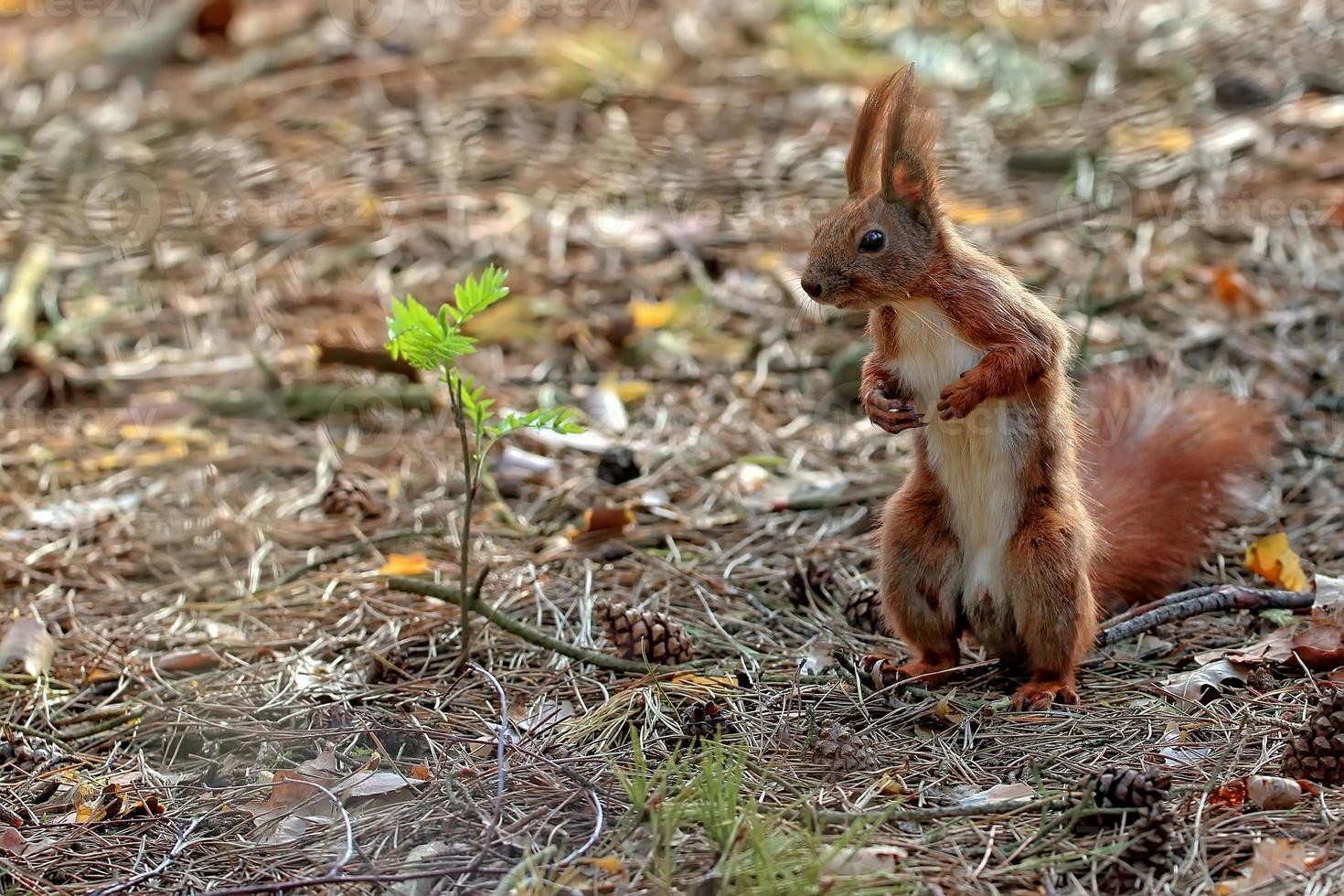 röd ekorre i skogen foto