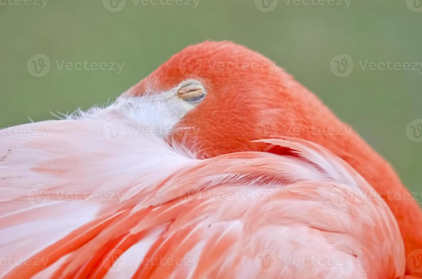 sovande flamingo foto