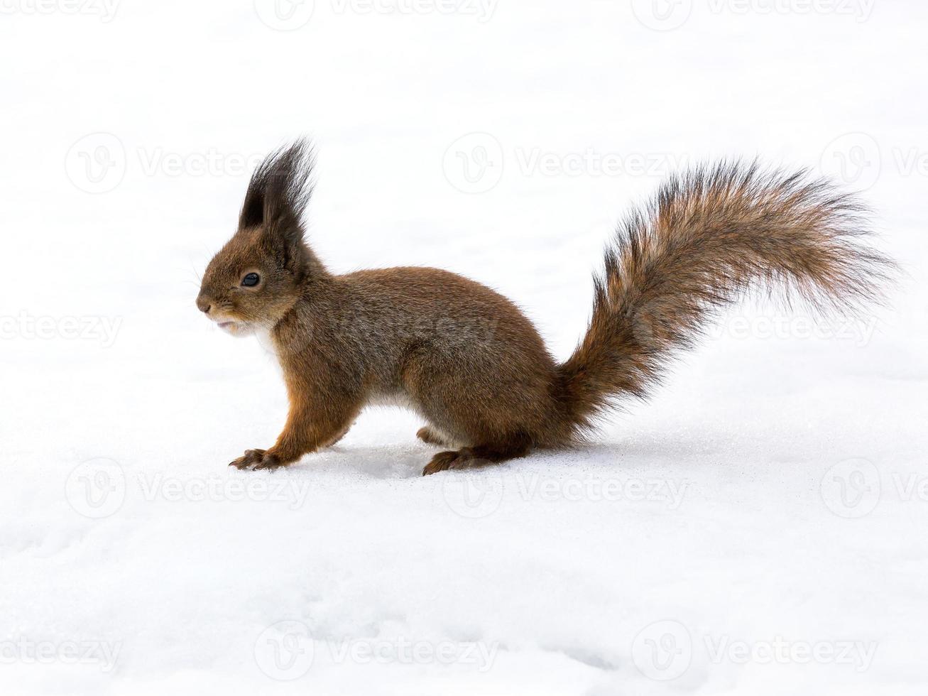 söt röd ekorre på snö foto