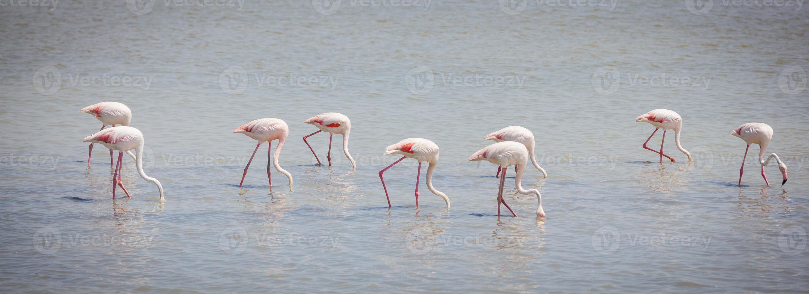 flamingos camargue provence foto