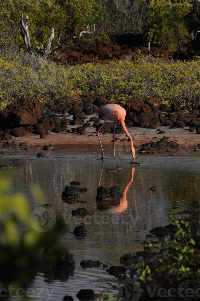 amerikansk flamingo (phoenicopterus ruber) foto