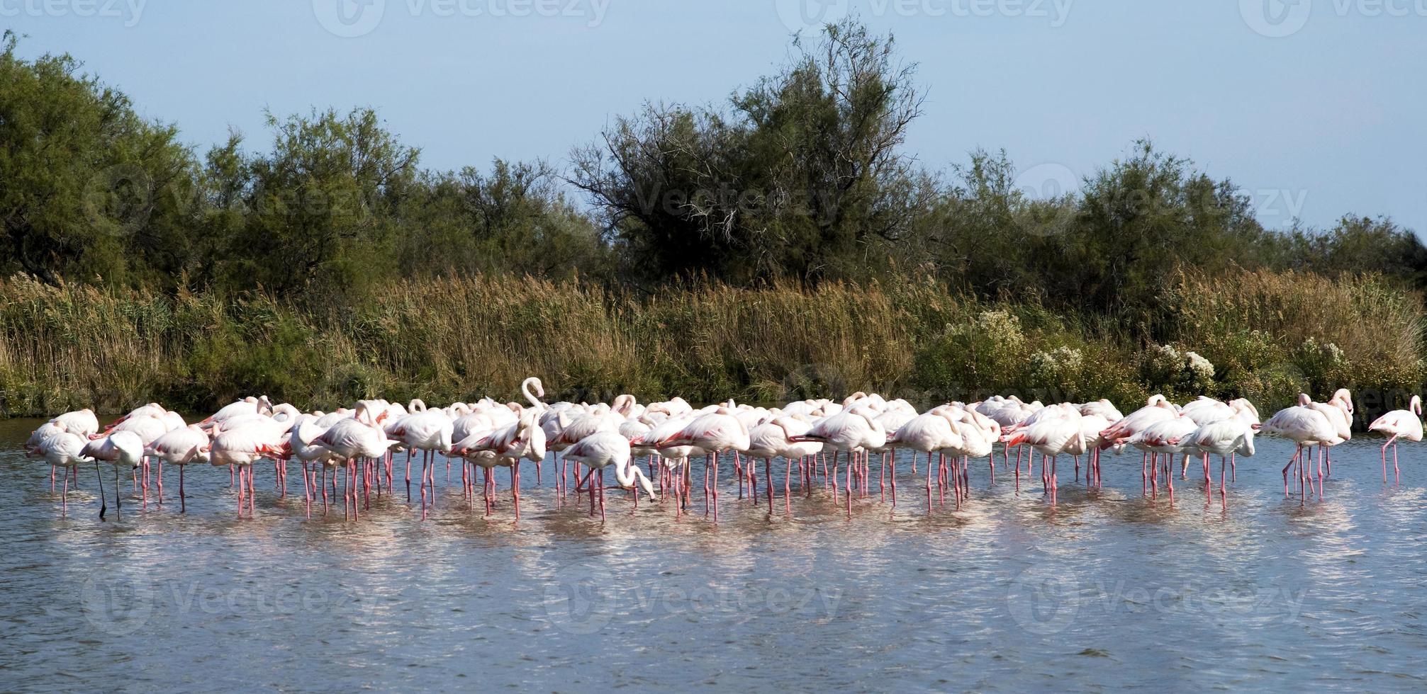 flock flamingos foto