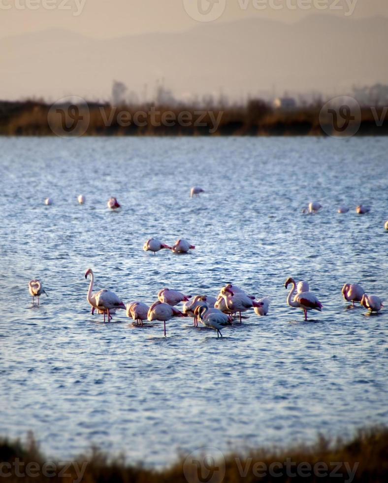 flamingos vid solnedgången foto