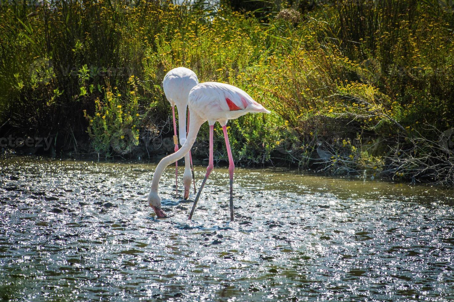 rosa flamingo (phoenicopterus ruber) i camargue, Frankrike foto