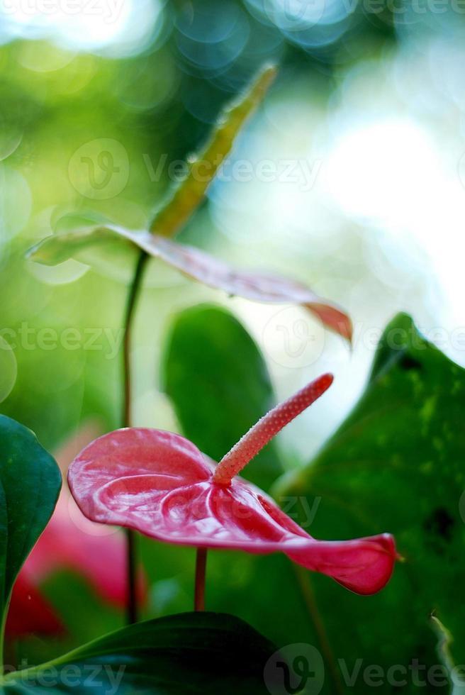 flamingo blomma i trädgården, Thailand foto