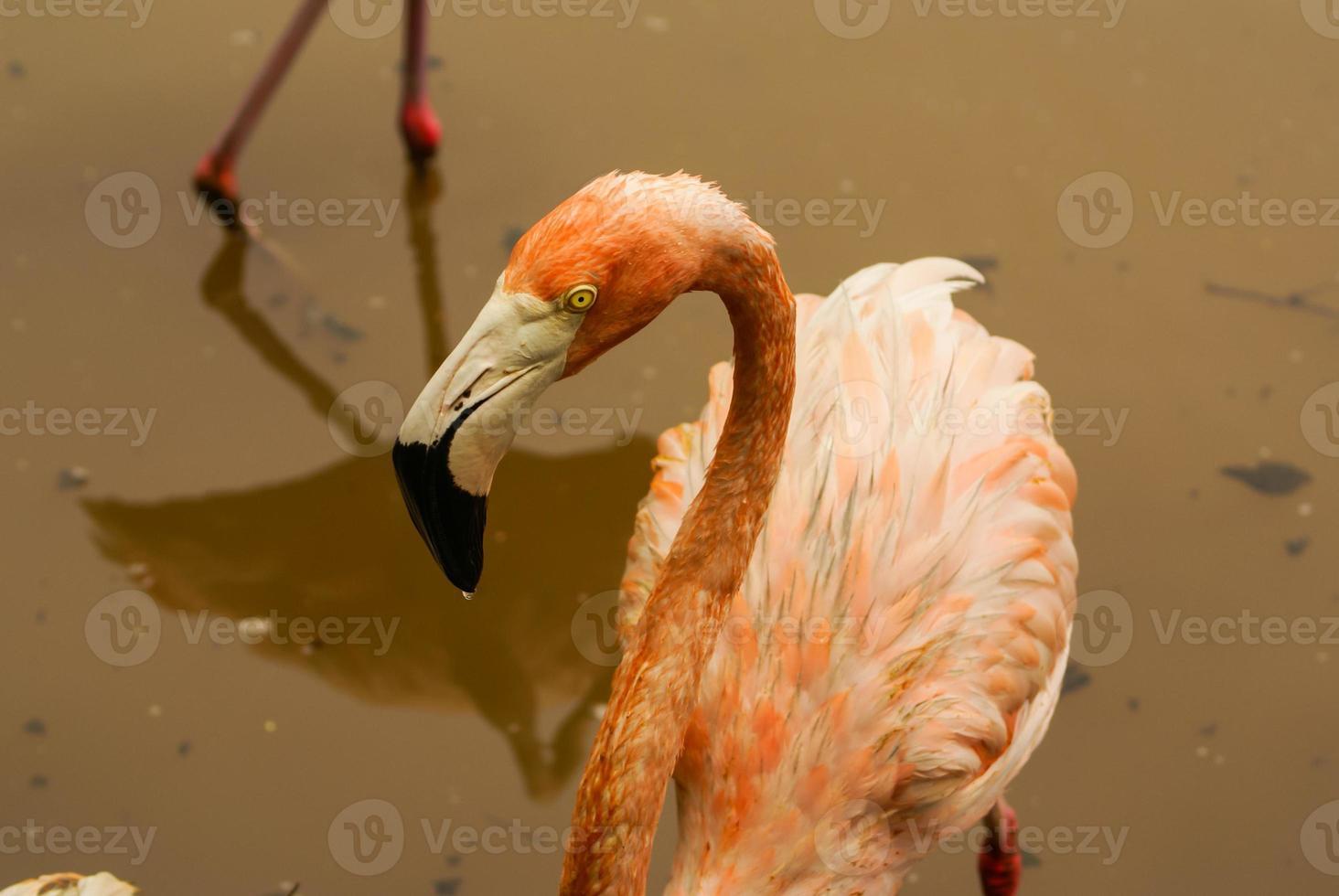 den amerikanska underarten av karibisk flamingo foto
