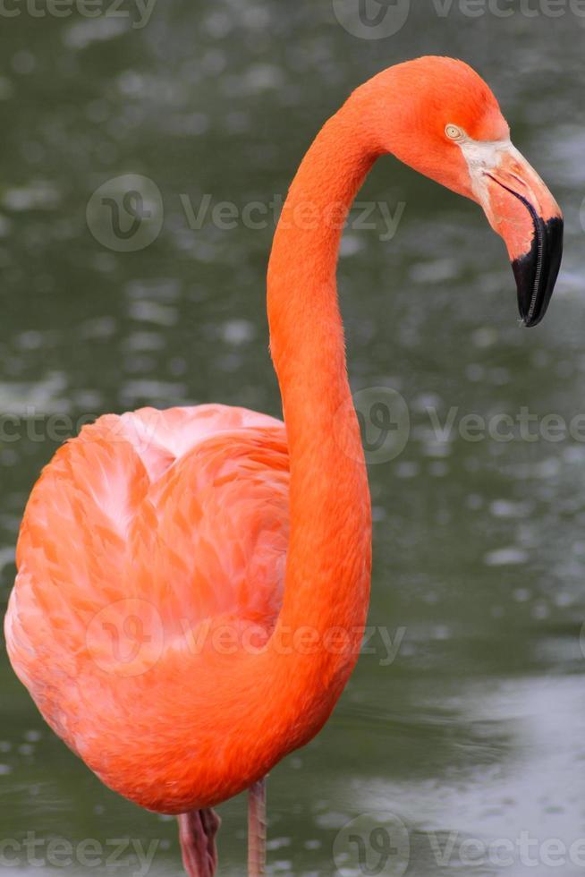 rosa flamingo i vatten foto