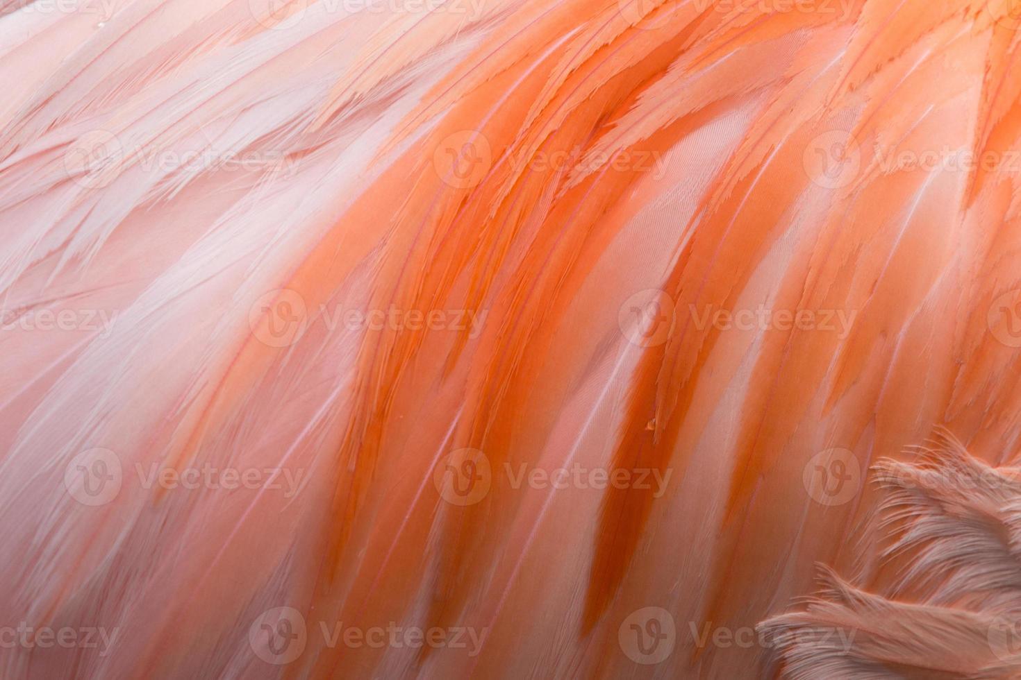 detalj av flamingo's fjäder foto