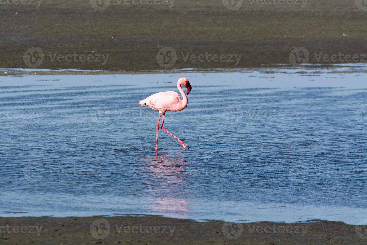 flamingos i havet nära swakopmund. foto