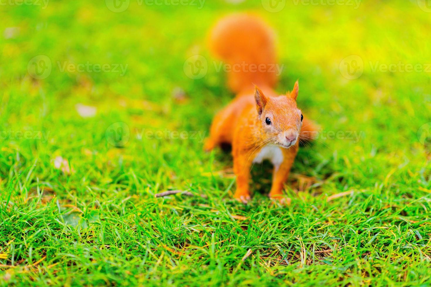 röd ekorre som sitter på gräset foto