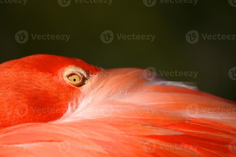 västindisk flamingo, närbild foto
