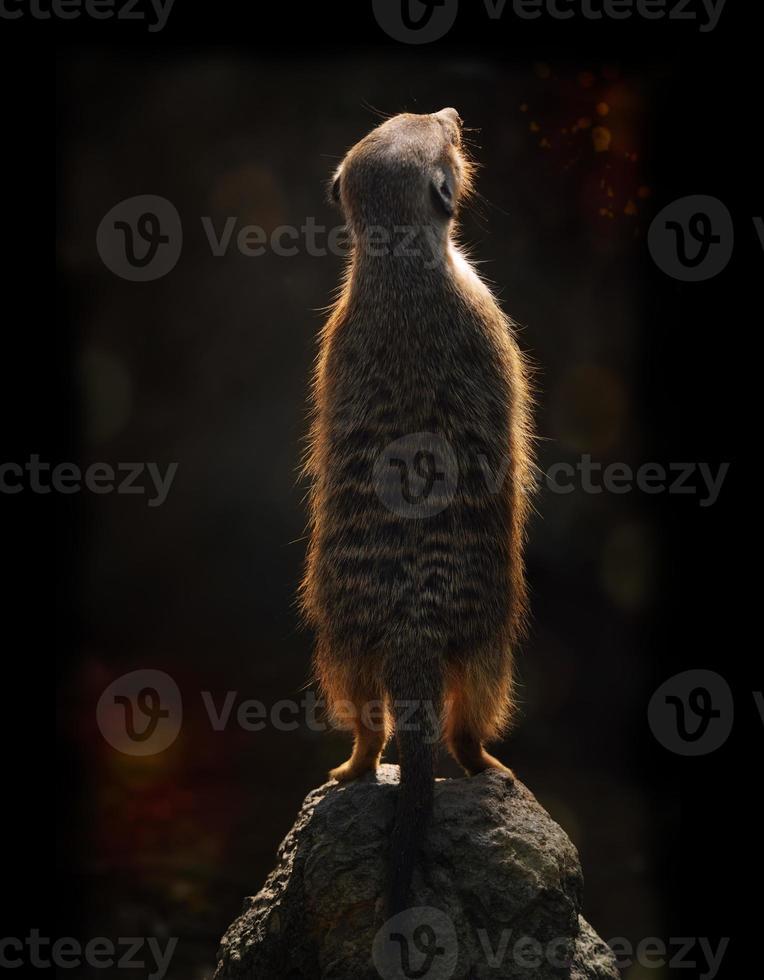meerkat vid solnedgången foto