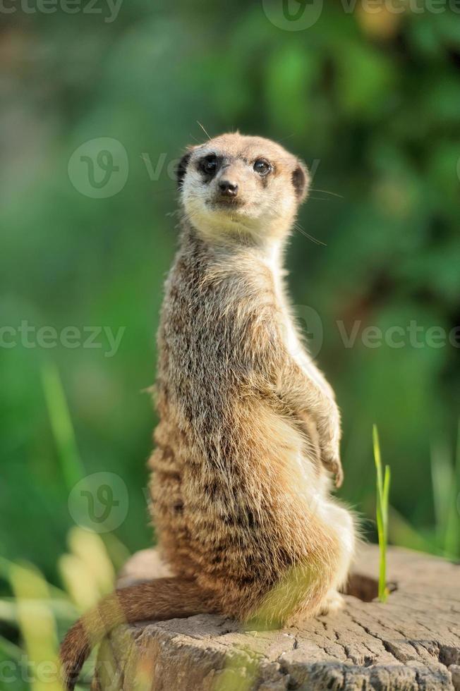 meerkat som står upprätt och ser vaken foto